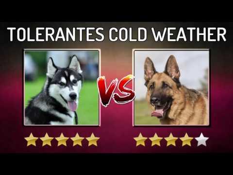 HUSKY VS GERMAN SHEPHERD DOG