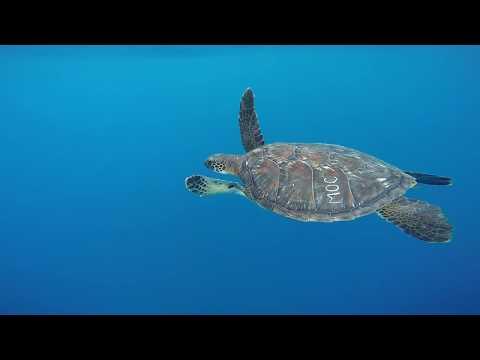 Maui Ocean Center Turtle Release 2017