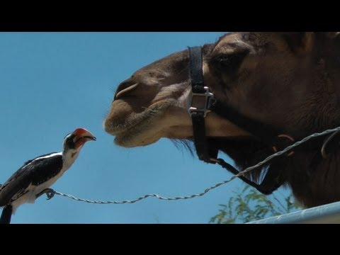 Bird makes friends with two camels
