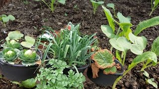 vegetable grow in containers |||