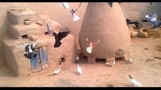 New fighter Pigeons In Punjab Village Dg Khan 2018