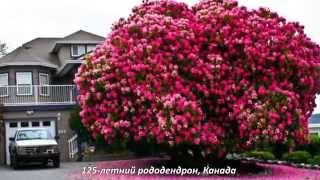 видео декоративные деревья  (Декоративные растения, Сад, Ландшафтный дизайн) / Поиск по тегам / Мои дачи