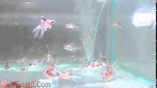 Золотая рыбка   Ситцевый телескоп  Аквариумные рыбки  Аквариумистика(Самые лучшие видео с животными со всего мира! Подписывайтесь на наш канал!, 2015-05-21T11:26:15.000Z)
