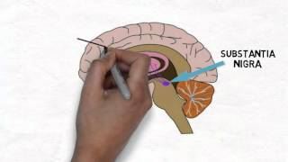 2-Minute Neuroscience: Substantia Nigra