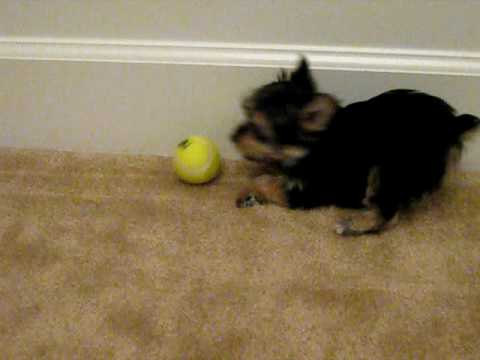 chloe-playing-with-a-tennis-ball