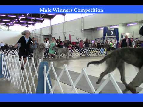 7 8 2018 Texas Kennel Club - Irish Wolfhounds