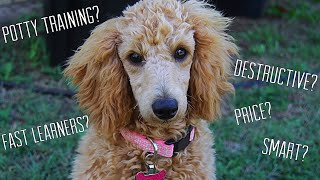 OWNING A MINIATURE POODLE