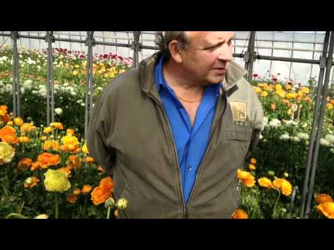 NYC floral buyer's visit to World's best Ranunculus grower