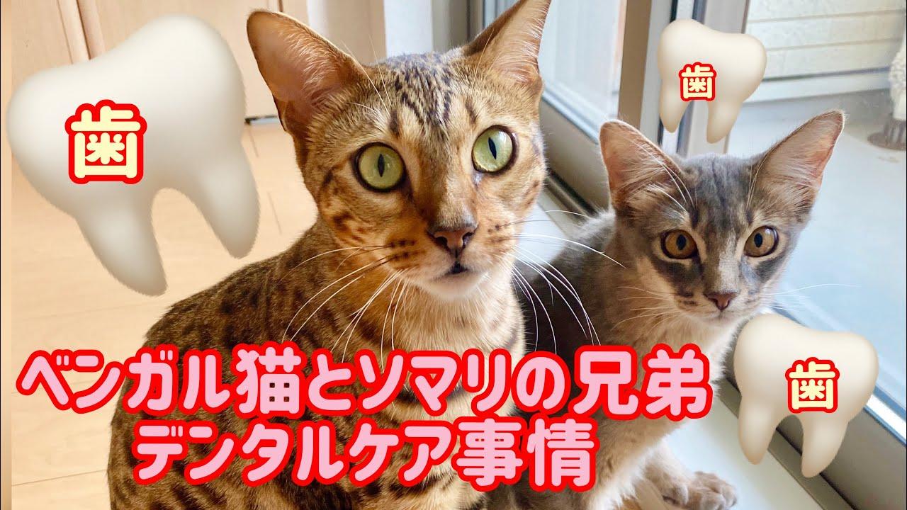【ベンガル猫、ソマリ】猫ちゃんも歯が命🦷