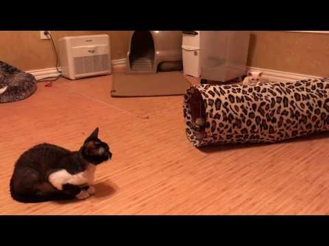 Devon Rex kittens - Day 43