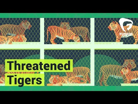 Blood Market: Tiger Farms Fueling Illegal Trade