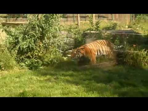 Tiger catches pigeon at Blackpool zoo