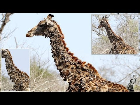 Giraffe is covered in unsightly bumps due to birds pecking at its skin