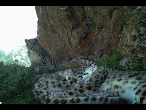 Snuggling Snow Leopards
