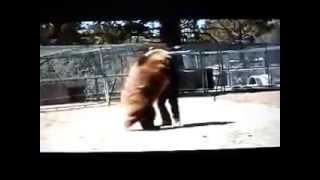 Смерть,трагедии,несчастные случаи,суицид,убийство,самоубийство,нападение,ужас,жесть(Медведь смертельно ранил мужчину..18+,слабонервным не смотреть https://www.youtube.com/channel/UCLR2tbaC4uRMOoh5majarWQ., 2013-12-05T00:30:25.000Z)