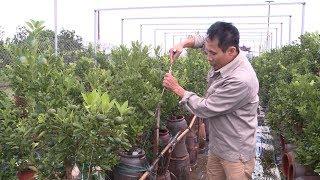 Tin Tức 24h Mới Nhất : Người trồng quất Tứ Liên lo lắng trước thời tiết bất thường