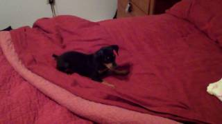 Our Min Pin Journey: Fighting On The Bed - 8 Weeks