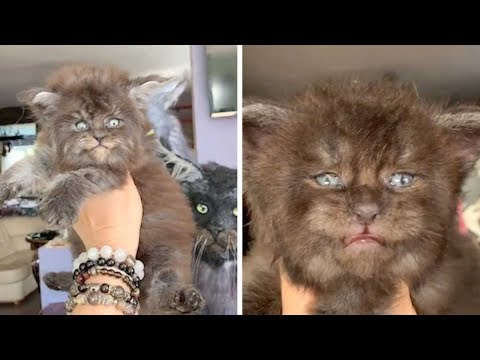 Fluffy Kittens Look Like Werewolves