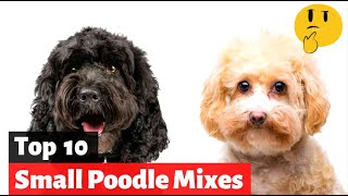 10 Small Poodle Mixes Curly Cross Breeds | Which One Should You Get?