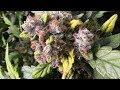 S4:E6 Gorilla Glue Autoflower Fastbuds ready to harvest soon