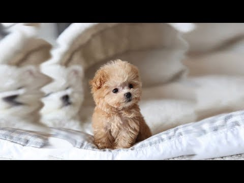 Cute Miniature Poodle Puppies Video Compilation