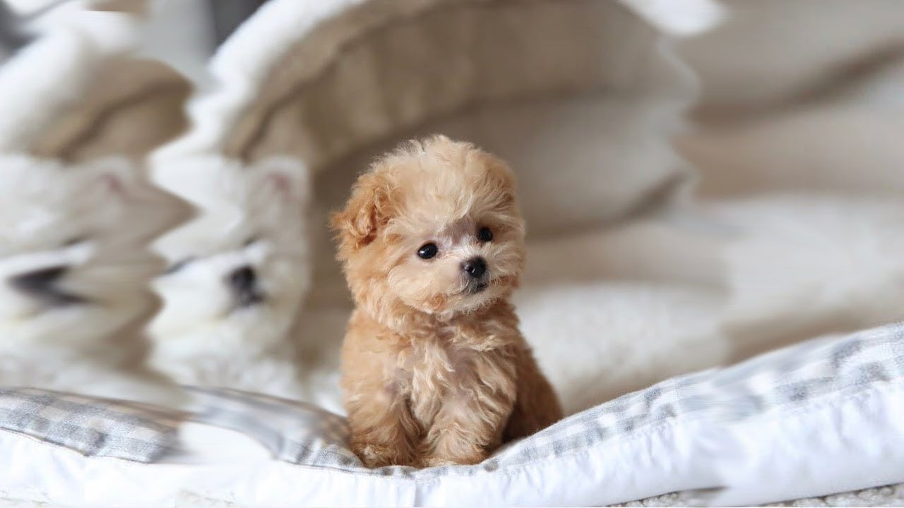 Free Download Cute Puppy Wallpapers | PixelsTalk.Net |Cute Poodle Puppies
