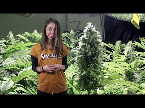 Marihuana Television News 30 - VIAJE Barcelona - Amsterdam