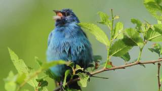This sweet little video celebrates the Indigo Bunting and its song....