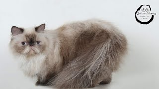 NAUGHT EXTREME PUNCH PERSIAN IN INDIA | Sweetheart bella rooling like a racoon after naughtiness