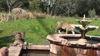 Potty Trained Tiger