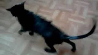 Кошка после душа.mp4
