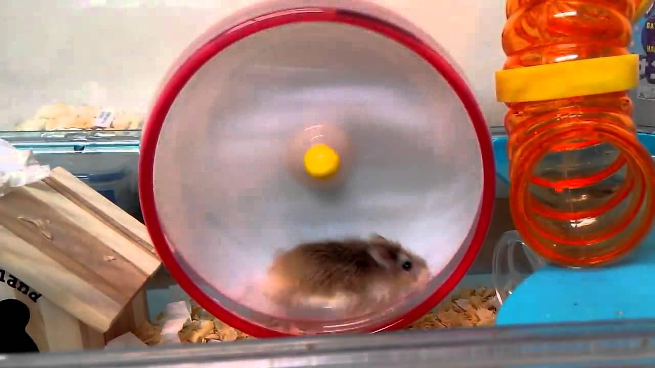 【老公公鼠/倉鼠/Hamster】跑跑17公分新滾輪 - YouTube