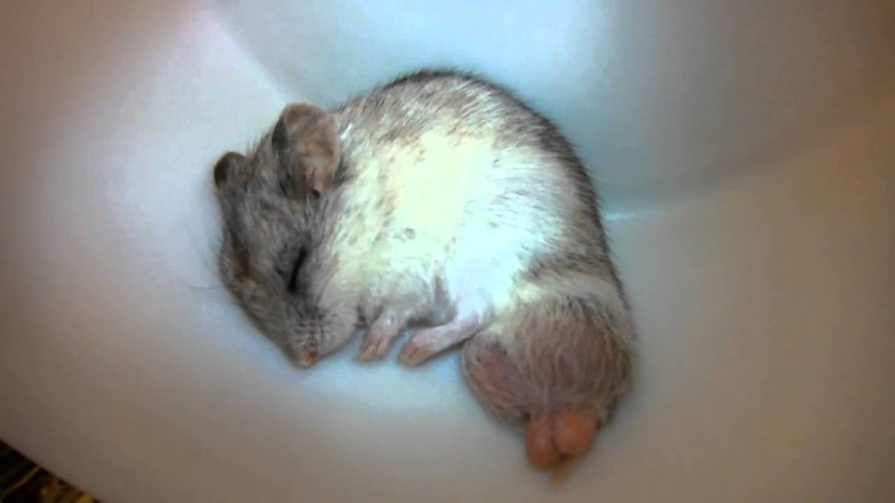 Image Result For Chinese Dwarf Hamsters Facts