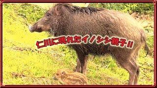 昨日アップロードした「大雨で増水した仁川にイノシシ親子出現!Wild bo...