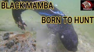 Mink Fishing for Crayfish | Episode 6- Black Mamba: Born to Hunt