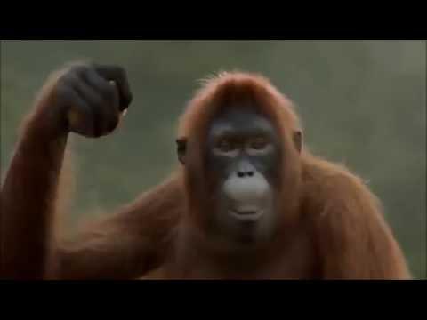 Orangutan Move It