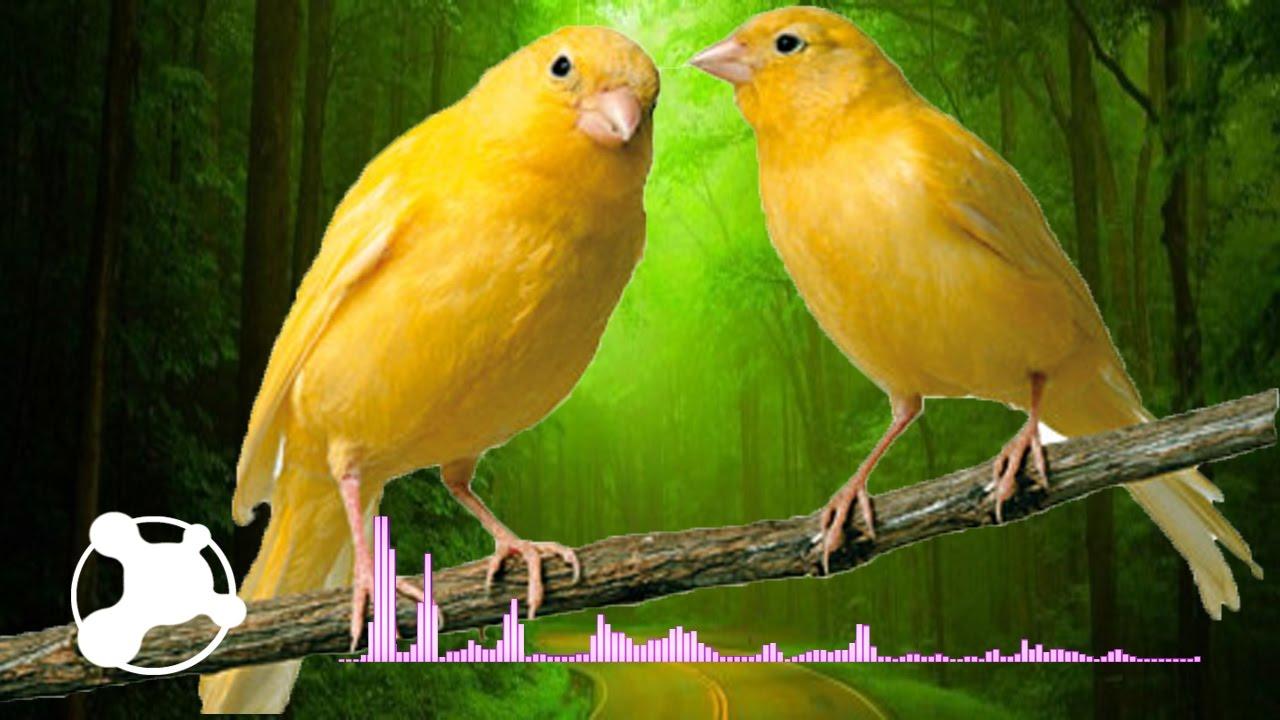 musicas de canario belga cantando