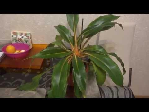 Комнатные цветы/растения. Мои хлорофитумы. Боня и Оранж.