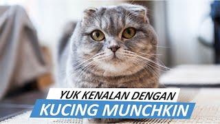 Yuk Kenalan Dengan Kucing Munchkin Jenis Kucing Yang Kakinya Pendek Dan Terkecil Di Dunia Youtube