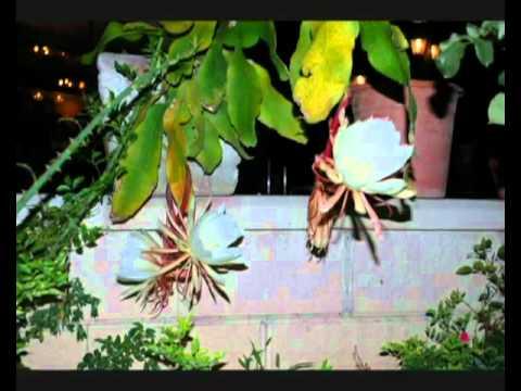 Video Hoa Quỳnh nở