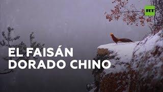 Comienza la temporada de avistamiento de faisanes dorados en China
