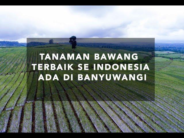 TANAMAN BAWANG PUTIH TERBAIK SE INDONESIA  DI BANYUWANGI|DIRJEN KEMENTRIAN PERTANIAN RI