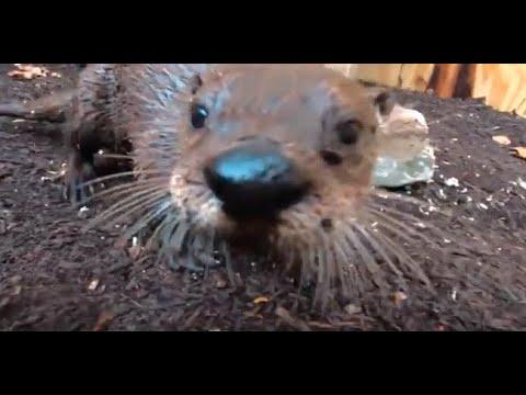 Otters in new St. Louis Aquarium