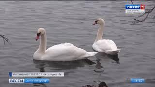 В Гатчине расследуют обстоятельства убийства белой лебеди на Серебряном озере