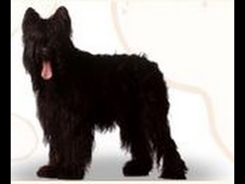 Briard: Bred for Hearding. Is This Breed of Dog the Right Choice for You and Your Family?