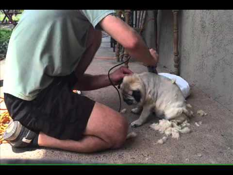 Shaved Pugs 100