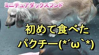 【ミニチュアダックス】初めてのパクチー(*´▽`*)