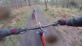 Mia the GSD x Malinois does bikejoring