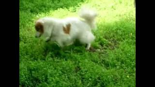 Собака дворняжка Пушок.