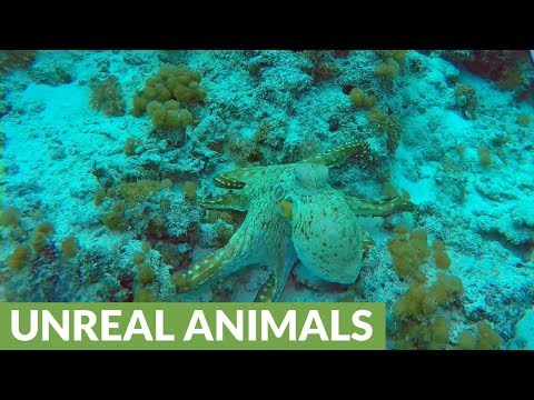 Camouflaged octopus changes color, texture and shape